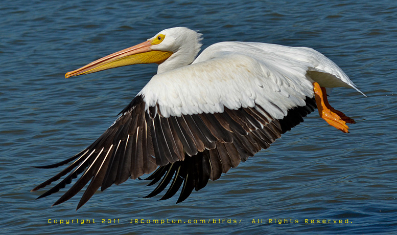 American_White_Pelican-gear-up