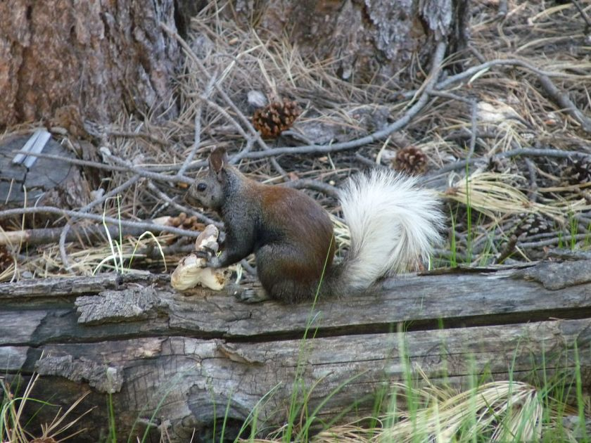 Kaibab_Squirrel wikimedia