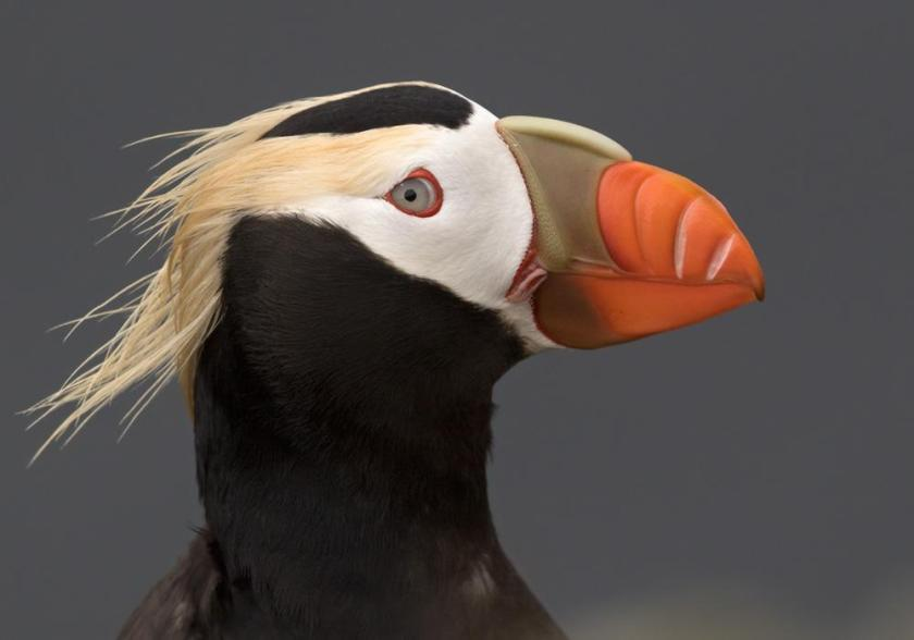 Tufted Puffin hbw