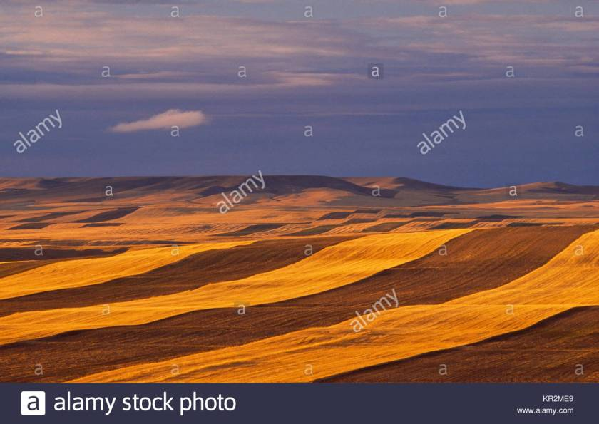 MontanaWheat alamy dot com